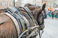 A horse with carriage harness, Bruges, Belgium Stock Photos