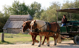 Horse carriage ride, Camargue, France Stock Images