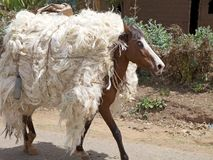 Horse. Is carrying cotton along the road from Arba Minch to Addis Abeba, Ethiopia Royalty Free Stock Photos