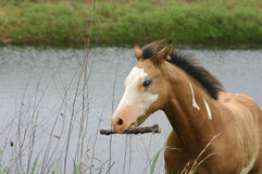 Horse Carrying Stick. Young Paint horse walking on shore of pond, carrying stick,among dried reeds,overcast day,breeze blowing through his mane Stock Image