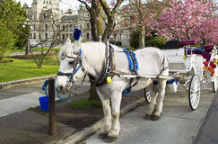 Horse and Cart in Victoria Canada. White horse with cart attached in front of capital building of Victoria Canada Royalty Free Stock Photography