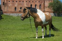 Horse with the castle in the background Stock Image