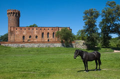 Horse with the castle in the background. View of horse with medieval Teutonic Order castle in Swiecie, Poland Royalty Free Stock Photography