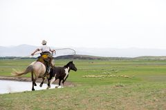 Horse catching in Mongolian style. Horse catching with a lasso in Mongolia stock image