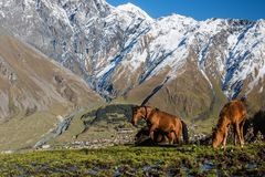 Horses on Mount Kazbek. A horse, Caucasus mountains, Mount kazbek in summer green and blue sky Stock Photography