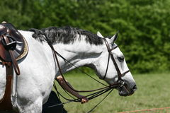 Horse on championship. Of show jumping Royalty Free Stock Photography