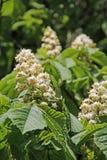 Horse chesnut conker tree Stock Images