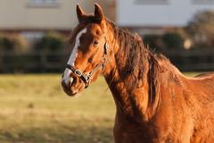 Horse. A chesnut horse standing in a field bathed in sunlight royalty free stock image