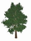 Horse-chestnut ή conker δέντρο, aesculus Στοκ Φωτογραφία