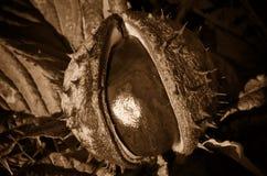 Horse chestnut Royalty Free Stock Photography