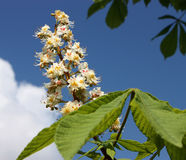 Horse chestnut. Horse chestnut-tree branch with leaves and flowers on blue sky stock photography
