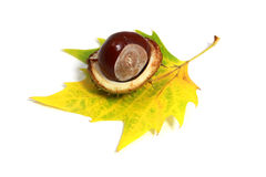 Horse-chestnut Stock Photography