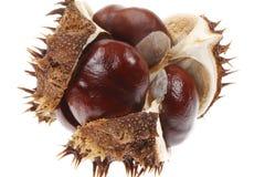 Horse chestnut Stock Images