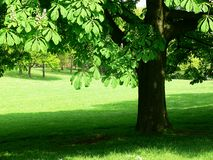 Horse chestnut Stock Images