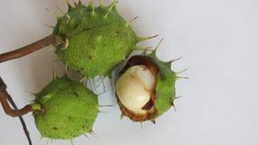 Horse chestnut - aésculus Stock Images