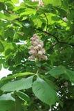 Horse chestnut, acorn, esculus Aesculus Stock Photos