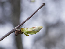 Horse-chestnut, aesculus hippocastanum, bud on branch with bokeh background macro, shallow DOF, selective focus Royalty Free Stock Photos