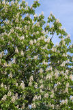 Horse chestnut (Aesculus hippocastanum, Conker tree) flowers blossoming Stock Photo