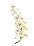 Horse-chestnut (Aesculus hippocastanum, Conker tree) flowers and leaf isolated on white ,  clipping path Stock Images