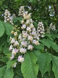 Horse chestnut. A horse chestnut (Aesculus hippocastanum) tree in flower in the south-west of England royalty free stock images