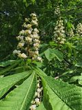 Horse chestnut. A horse chestnut (Aesculus hippocastanum) tree in flower in the south-west of England stock image