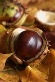 Horse Chestnut Stock Photo