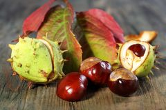 Horse Chestnut with autumn leaves. Royalty Free Stock Photography