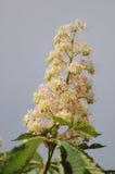 Horse chestnut in bloom. Stock Photo
