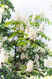 Horse chestnut in bloom. Royalty Free Stock Photo