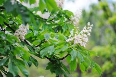 Horse chestnut in bloom. Royalty Free Stock Images
