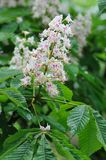 Horse chestnut in bloom. Stock Images