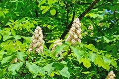 Horse chestnut in bloom. Stock Image