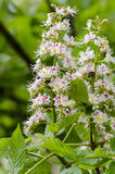 Horse-chestnut. Blooming horse-chestnut (Aesculus hippocastanum) in spring. Close up of bloom royalty free stock photography