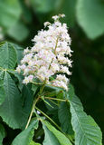 Horse chestnut blossom in spring. Close-up of a single white horse chestnut blossom royalty free stock photo