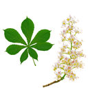 Horse chestnut branch and leaf Royalty Free Stock Photography