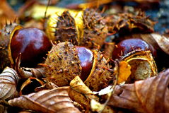 Horse chestnut Royalty Free Stock Photos