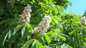 Horse chestnut buckeye blooming in a city public park. stock video footage