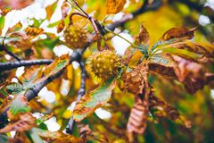 Horse chestnut buckeye conker outside in the wood Royalty Free Stock Image