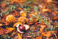 Horse chestnut buckeye conker outside in the wood Royalty Free Stock Photography
