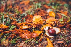 Horse chestnut buckeye conker outside in the wood Royalty Free Stock Photos