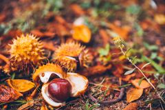 Horse chestnut buckeye conker outside in the wood Stock Photography