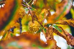 Horse chestnut buckeye conker outside in the wood Stock Photos