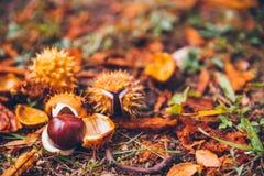 Horse chestnut buckeye conker outside in the wood Stock Image