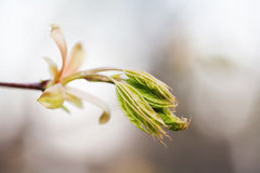 Horse chestnut bud bursting into leaves. Castania tree branch macro view. Shallow depth of field, soft focus background Stock Photography