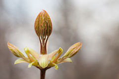 Horse chestnut bud bursting into leaves. Castania tree branch macro view. soft pastel background. copy space. New life Royalty Free Stock Images