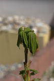 Horse chestnut buds. Unfurling of Horse chestnut buds (Aesculus Hippocastanum) on a sapling Royalty Free Stock Photography