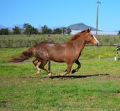 Horse chestnut canter Royalty Free Stock Images