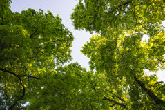 Horse-chestnut chestnut tree treetop seen from below view perspective sun bright green leaves leaf Stock Image
