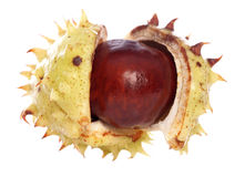 Horse-chestnut conker. Isolated studio cutout royalty free stock photo