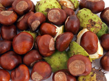 Horse chestnut, Conker. A conker is the seed of a horse chesnut tree stock photo